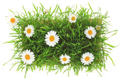 Green grass and white flowers Royalty Free Stock Photography