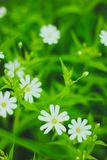 Green grass and white flowers. In the nature Royalty Free Stock Images