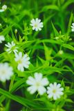 Green grass and white flowers. In the nature Stock Photos