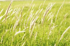 Green grass with white hairs on top With the light of the sun.  Royalty Free Stock Images