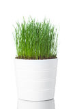 Green grass in white pot. Isolated on white Stock Photography