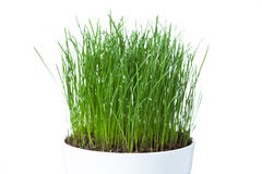 Green grass in white pot Royalty Free Stock Photos