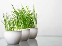 Green grass in the white pot Stock Photo