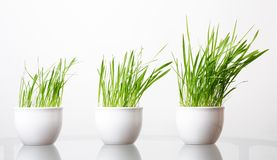Green grass in the white pot Stock Image