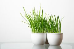 Green grass in the white pot Stock Images