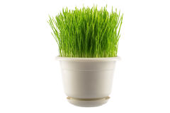 Green grass in white pot Royalty Free Stock Image