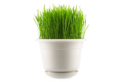 Green grass in white pot,  on white. Background Royalty Free Stock Photo