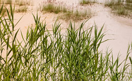 Green grass on white sand. Royalty Free Stock Photography