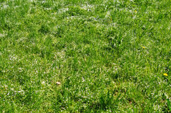 Green grass and white small florets Royalty Free Stock Photography