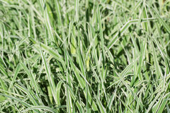 Green grass with white streaks. Stock Photo