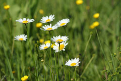 Green grass and white wild flowers Stock Images