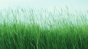 Green Grass On The Wind And Blue Skye Royalty Free Stock Photo