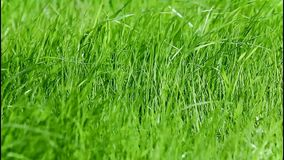 Green grass on the wind stock video