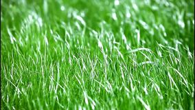 Green grass on the wind stock footage