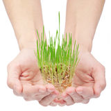 Green grass in woman hands Stock Image