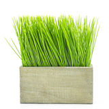 Green grass in wood flower pot. On white background Stock Photo