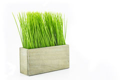 Green grass in wood flower pot Royalty Free Stock Image