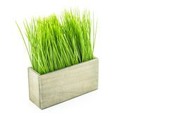 Green grass in wood flower pot Stock Image