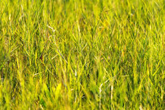 Green grass with yellow background. The green grass with yellow background in field at Mukdahan Nation Park, Thailand stock images