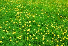 Green grass and yellow dandelion flowers in spring Stock Photo