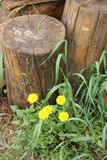 Green grass yellow dandelions flower growing near the chock, firewood,. Green grass and yellow dandelions flower growing near the chock, firewood stock photo
