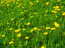 Green grass with yellow dandelions Royalty Free Stock Photography
