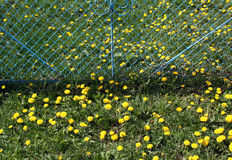 Green grass and yellow dandelions. Seasonal natural background stock photos
