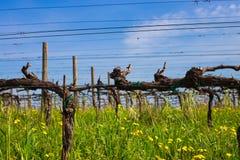 Green grass in vineyard fields stock photo