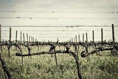Green grass in vineyard fields royalty free stock photo