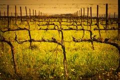 Green grass in vineyard fields. Green grass and yellow dandelions under bare vines in vineyard fields royalty free stock photo