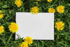 On a green grass with yellow dandelions white clean sheet rectangle of spears Royalty Free Stock Photo