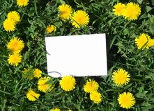 On a green grass with yellow dandelions white clean sheet rectangle of spears stock image
