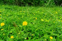 Grass and yellow flower. Green grass and yellow flower royalty free stock photo