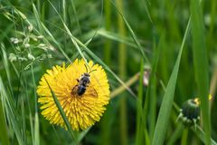 Green grass flower and fly. Green grass yellow flower and fly royalty free stock photos