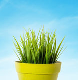 Green grass in a yellow flower pot  on blue background Royalty Free Stock Images