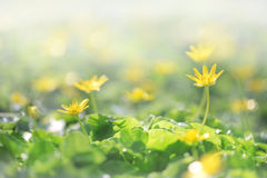 Small yellow flowers growing from green grasses Royalty Free Stock Photography