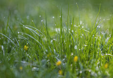 Green grass and yellow flowers with dew drops . Natural backround. Beautiful bokeh. Morning dew on grass , nature fresh outdoor background stock photo