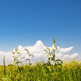 Green grass, yellow flowers and perfect sky Royalty Free Stock Photography
