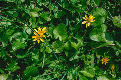 Green grass with yellow flowers. At summer time royalty free stock images