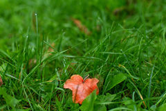Green grass yellow leaf Royalty Free Stock Images