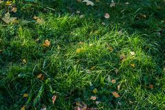 Green grass and yellow leaves on it. Leaves royalty free stock photo