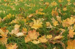 Green grass with yellow maple leaves. Green grass with yellow leaves; Seasonally natural background Stock Photos