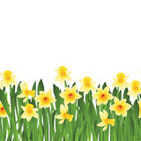 Green grass with yellow narcissus flowers isolated on white. Vector illustration Royalty Free Stock Photography