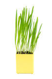 Green grass in the yellow pot Royalty Free Stock Photo