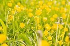 Green grass and yellow wildflowers on a summer day. Green grass and yellow wildflowers on summer day stock photography