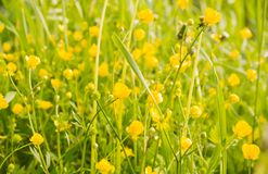 Green grass and yellow wildflowers on summer day. Green grass and yellow wildflowers on a summer day royalty free stock photo