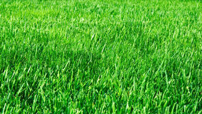 Green grasses. The green grasses at the morning Royalty Free Stock Photo