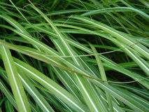 Green Grasses. Green leafy grasses on a summer afternoon royalty free stock image
