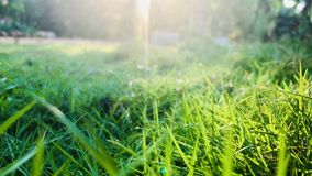 Green grasses. Beutiful Green grasses field with morning sunlight royalty free stock photography