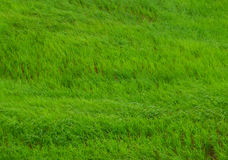 Green grasses blowing in the field of countryside in Thailand Stock Photography